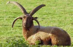loaghtan sheep
